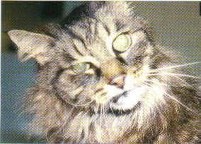 otitis kucing radang telinga