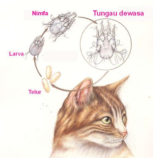 siklus hidup ear mite