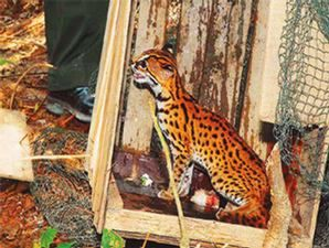Setelah itu kucing hutan itu saya kurung di bekas kotak