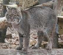 bobcat, kucing liar amerika