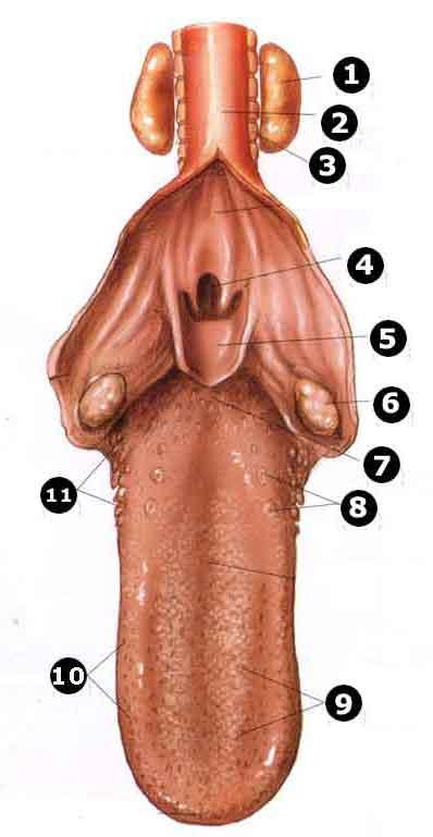 anatomi-kucing