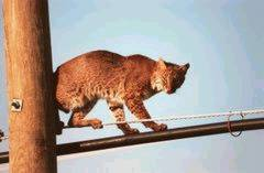bobcat,kucing liar amerika