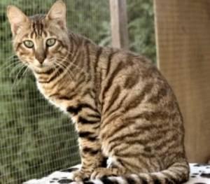 Ras Kucing Toyger