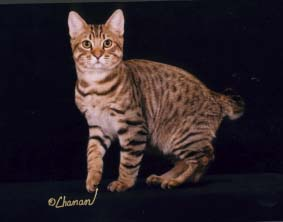 american bobtail, short hair