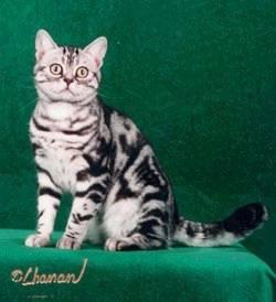 ... sejarah ras kucing ini merupakan hasil persilangan