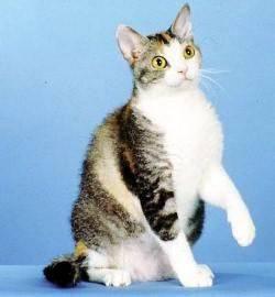 ras kucing,american wirehair