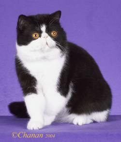 kucing American Shorthair (ASH) secara diam-diam mulai
