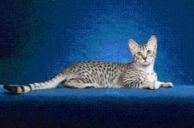 Egyptian Mau