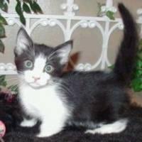 Anak Kucing Munchkin