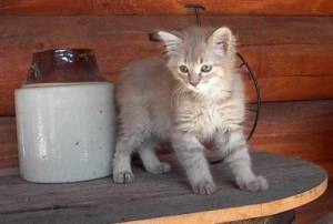 Anak Kucing Tiffany