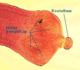 kepala cacing pita