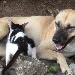 anjing-menyusui-anak-kucing