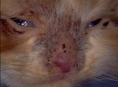 ringworm wajah