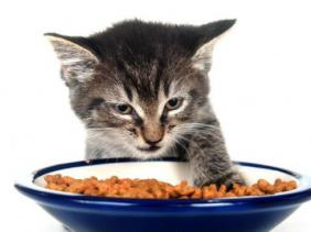 kekebalan anak kucing