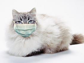 flu kucing, rhinotracheitis, herpes