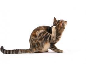 kutu kucing