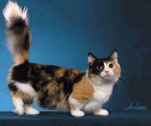 Munchkin Kucingkita Com