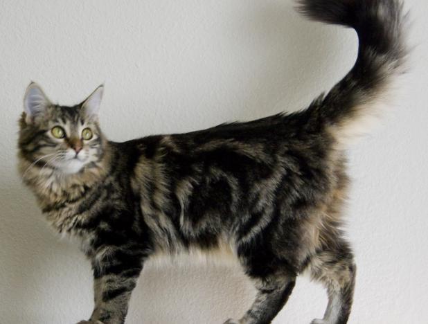 Unduh 64+  Gambar Kucing Menkun Paling Bagus
