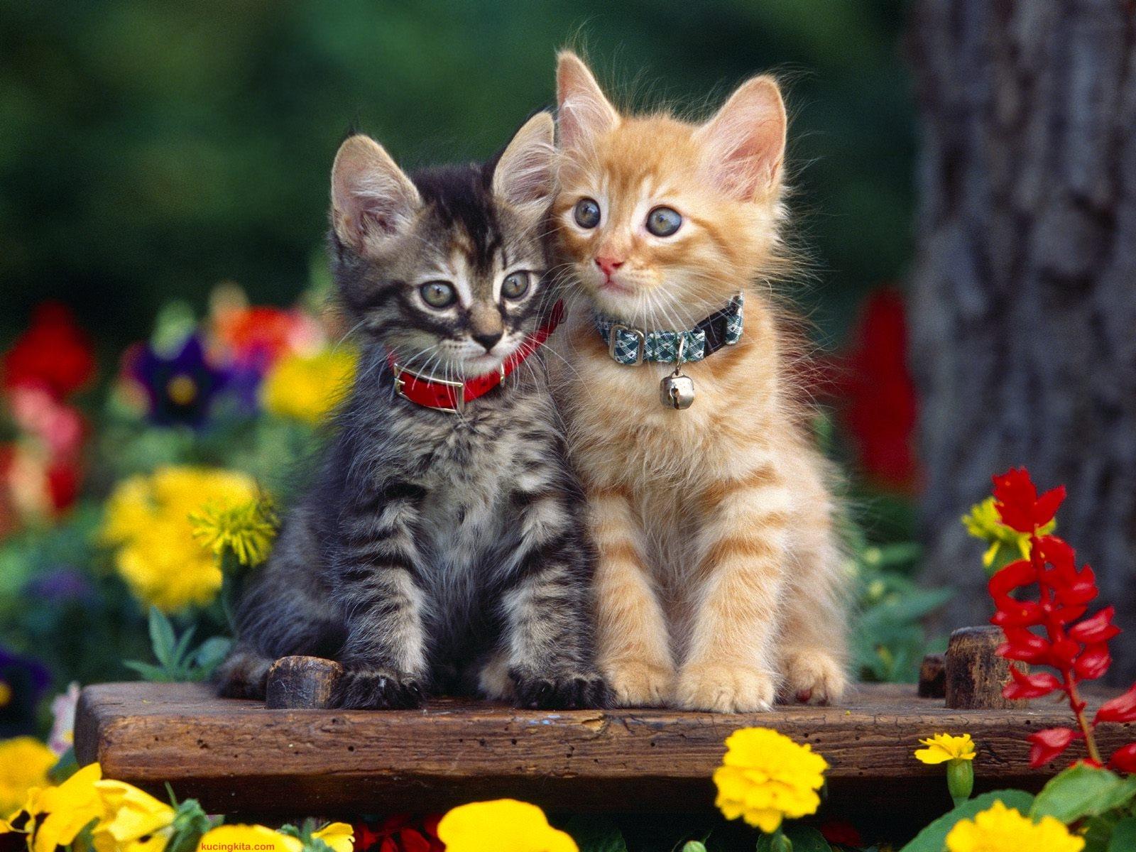 Download 76+  Gambar Wallpaper Kucing Imut HD